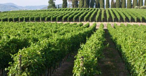 vigneti vino bardolino